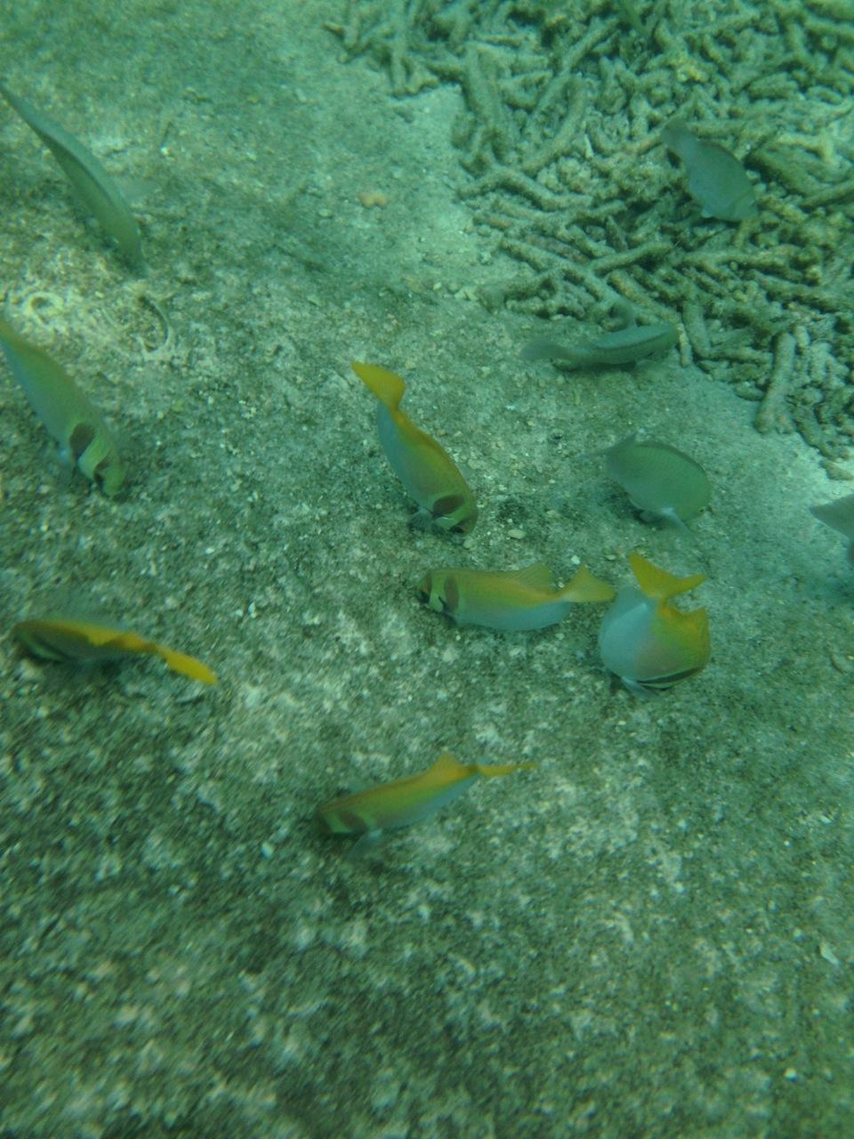 стаи тропических рыб